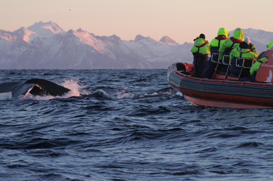 Lofoten Adventure   Experience your own wild orca moment