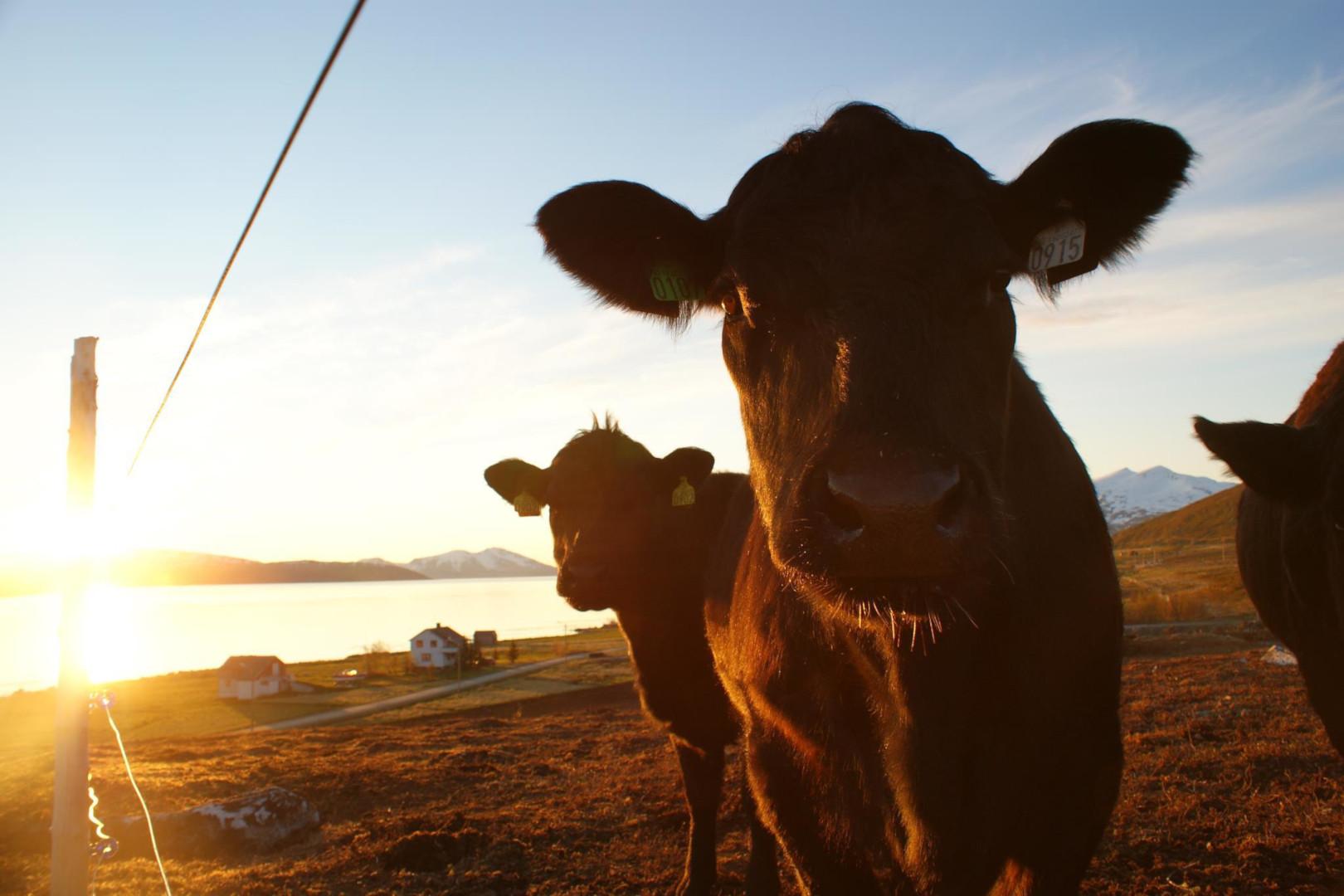 Visit-Karlsøy_4_cows_Bull-Gård1620.jpg